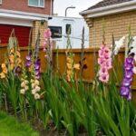 Гладиолус – украшение сада вашего дома