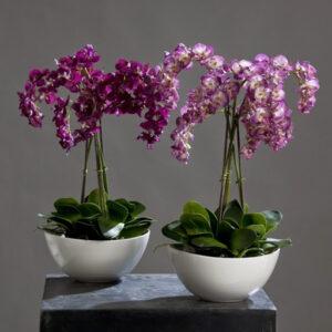 орхидея в горшку